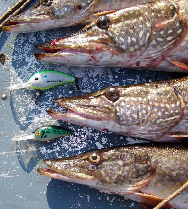 половина пойманных рыбаками рыб